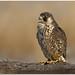 Peregrine Falcon by BN Singh