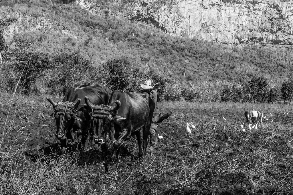 Men plow the farm with his buffalo in Vinales, Cuba.jpg