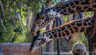 2014 - San Diego Zoo - Long Necks