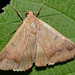 Small photo of Variable Drab Moth (Ophiusa mejanesi)