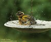 2016-7-22-7184*-Black-headed Grosbeak F taking bath