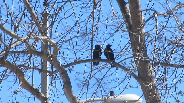 MVI_1005 crows in love