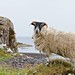 Chasing Sheep on the Isle of Skye by sparksource.co.uk