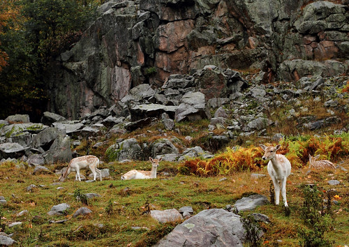 canada fauna quebec ottawa gamo fallowdeer mammals parcomega faune mamiferos cervidae mammifères daimeuropéen gamocomun