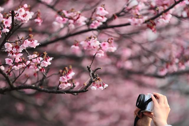 PS兔~兔兔兔~ - u63a2u82b1 Touching  ~ u5e73u83c1u8857uff0cu5bd2u6afb SAKURA Cherry blossoms  ~