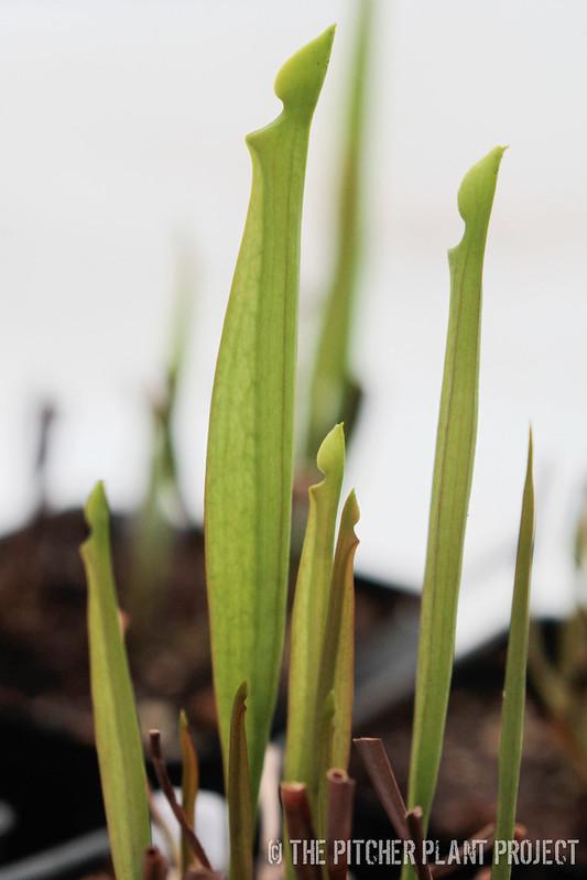 Sarracenia flava var. rubricorpora x flava 'Suspicion'