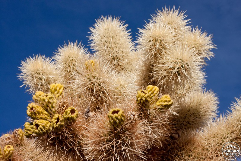 Joints of a Teddy Bear Cholla
