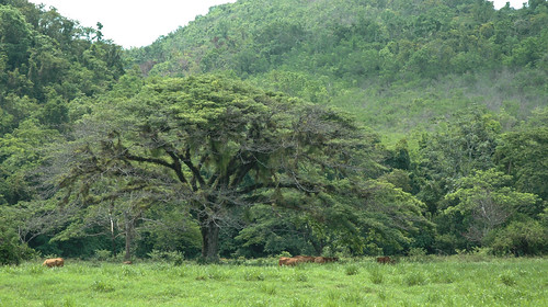 tree jamaica ysfalls