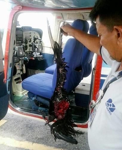 urubu - avião - acidente