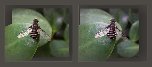 Bee fly: Cross view 3D