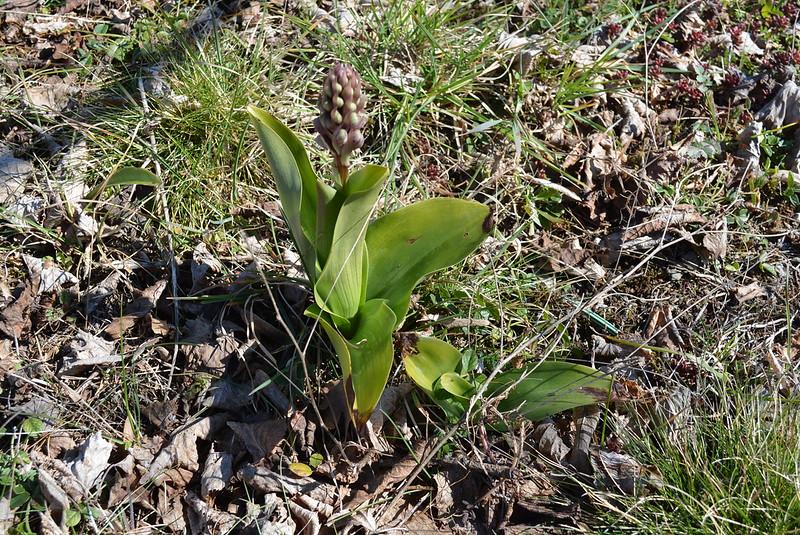 Orchidées 'in situ' 16083935983_d252b17ea9_c