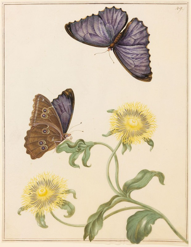 Inula Helenium (Echter Alant)