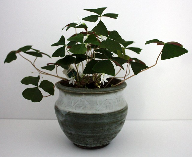 shamrock with several white flowers