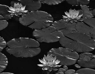 Black & White Water Lily Scene