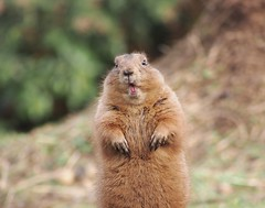 animal, squirrel, rodent, prairie dog, fauna, marmot, whiskers, wildlife,