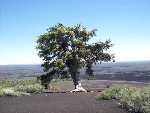 A Limber Pine on the near barren landscape of the Craters of the Moon National Monument & Preserve stands as a strong symbol of the power of one tree. (Photo by Robert Westover, U.S. Forest Service)