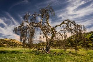 Live Oak No More.....