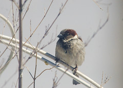 House Sparrows 4
