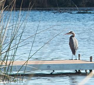 Great Blue Heron morning!