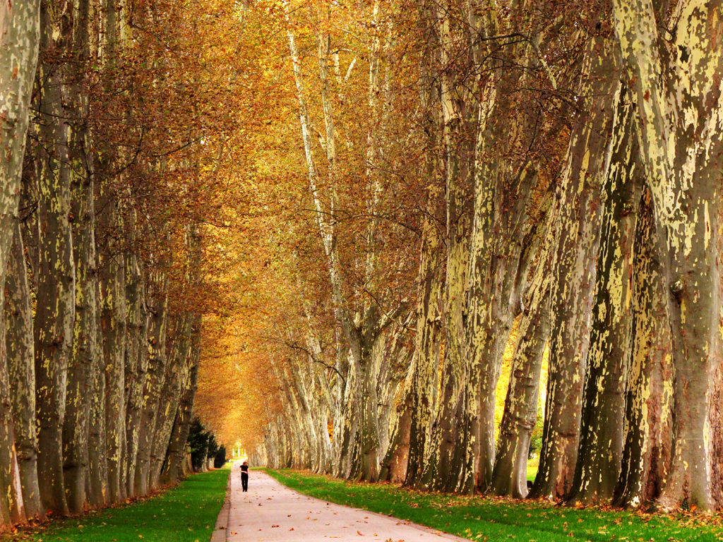 Avenue of Plane Trees in Autumn - Stuttgart, Germany