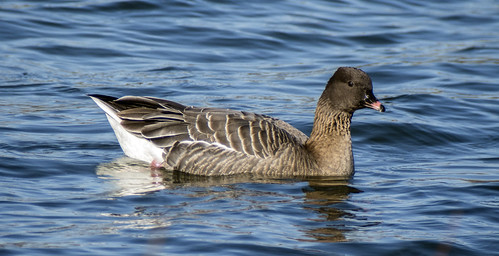 pink footed goose 444 (92)