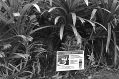 Hoomaluhia Botanical Garden -Pandan plant
