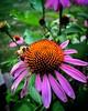 Honey Bee :honeybee: #shotoniphone #apple #shotoniphone6splus #honeybees #bees #bestoftheday #igers #igersconnecticut #ct #iphone6splus #snapseed #igdaily #photography #natureshots