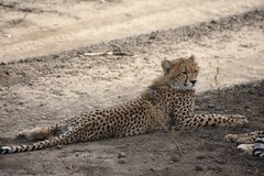 Cheetah in the Ngorongoro Conservation Area (1)