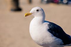 Seagulls of Santa Monica
