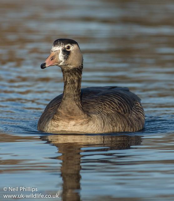 Canada x greylag hybrid goose Anser anser x Branta canadensis_-3