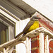 Couch's Kingbird by Americanchris