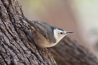 White-breasted Nuthatch_IMG_9338
