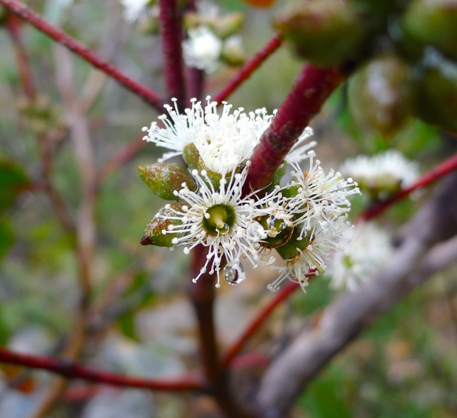 Raindrops on eucalypt blossoms