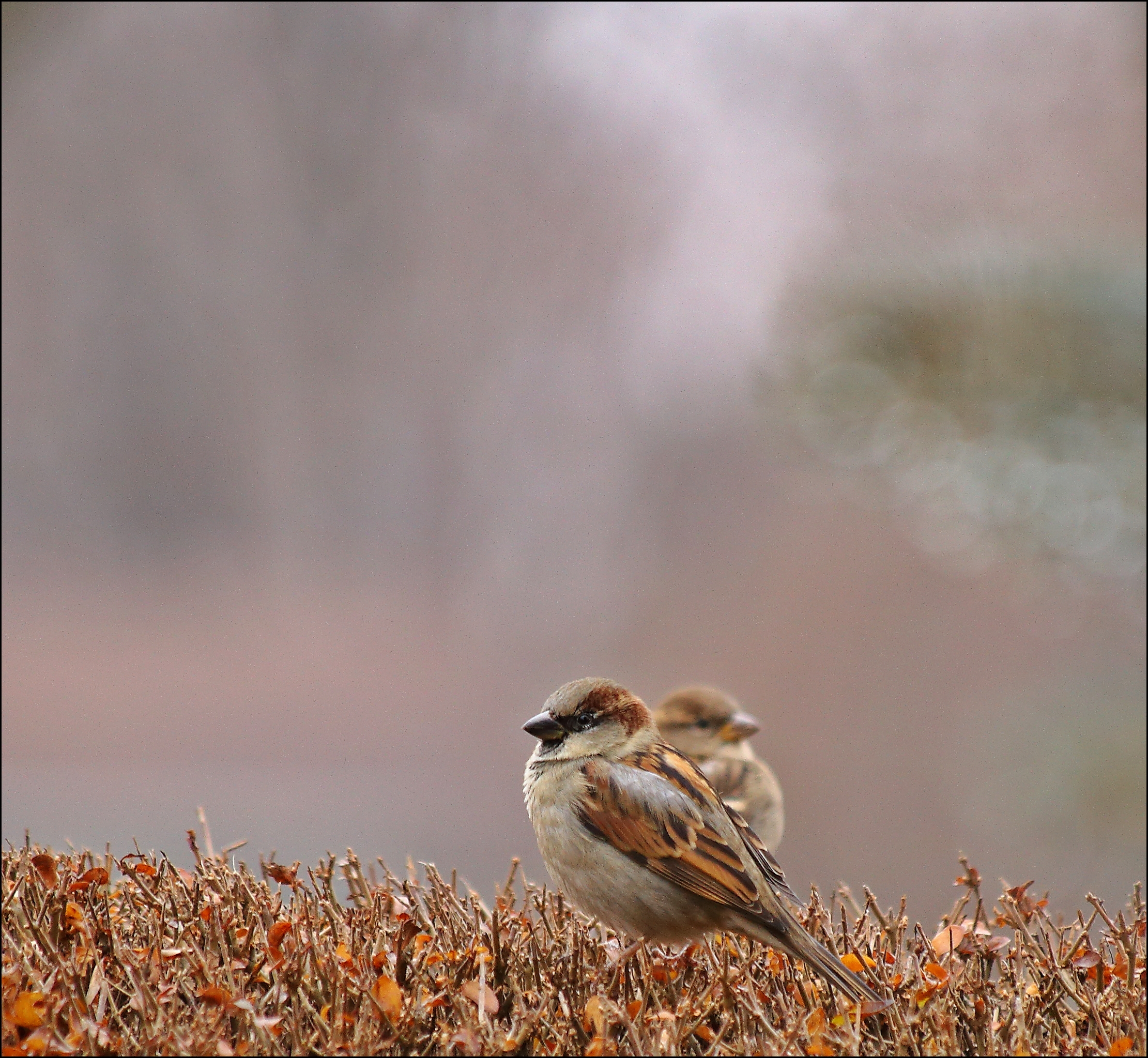 Full Zoom In Very Low Light. light, birds, canon, day, low, dreary, sparrow, dull, 6d. buy photo