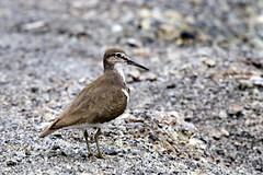 calidrid(0.0), lark(0.0), animal(1.0), nature(1.0), fauna(1.0), close-up(1.0), sandpiper(1.0), beak(1.0), bird(1.0), wildlife(1.0),