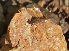 Common Darter (Sympetrum striolatum) female