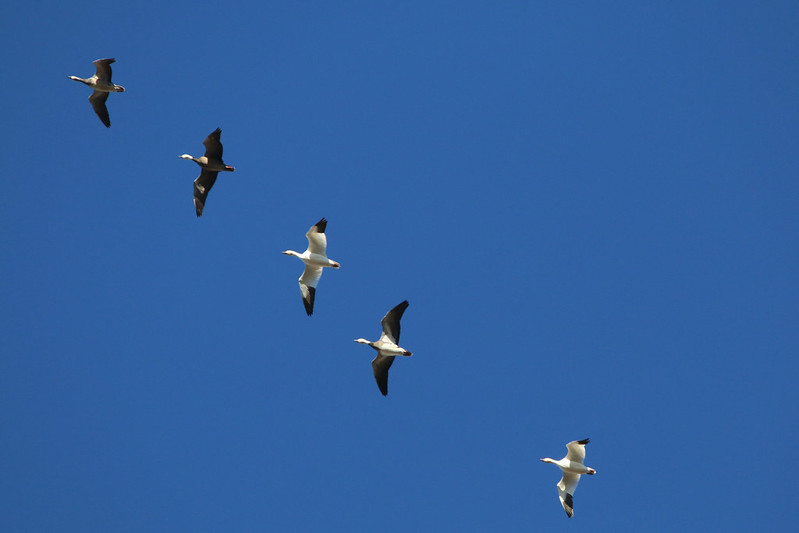 IMG_7084SnowGeese