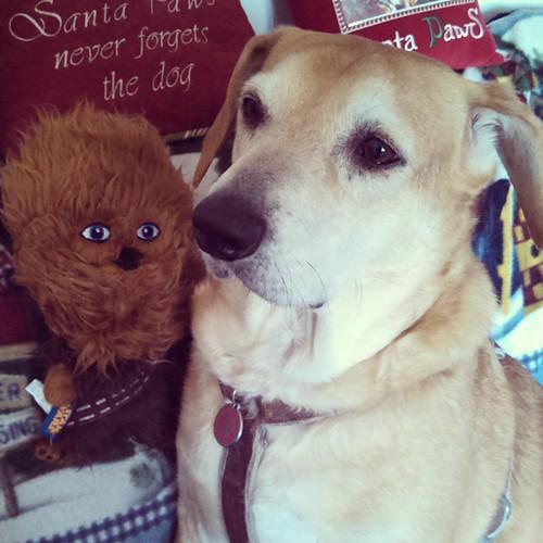 Sophie, meet Chewie. #happydog #instadog #dogstagram #rescued #houndmix #SantaPawsNeverForgetsTheDog #Christmas #dogtoy #StarWars