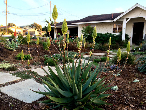 Aloe Moonglow getting ready to bloom.