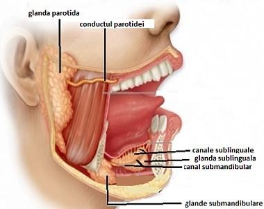 glande salivare mari