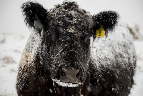winter heifer