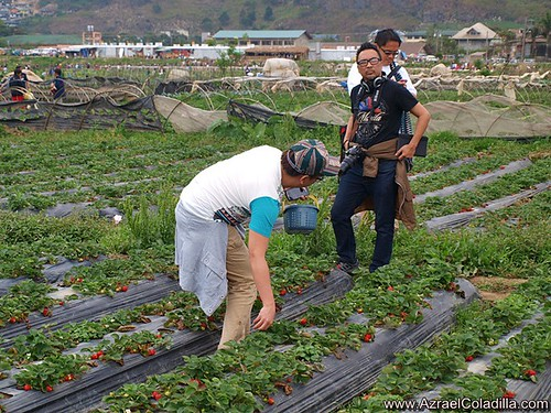 Baguio tour blog 14–Strawberry picking at Strawberry farm in La Trinidad
