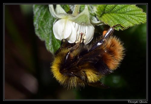 Bourdon des prés (Bombus pratorum) mâle