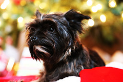 dog breed, animal, puppy, dog, schnoodle, mammal, morkie, cairn terrier, affenpinscher, yorkshire terrier, terrier,