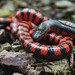 Western Mud Snake by Jeremy Schumacher