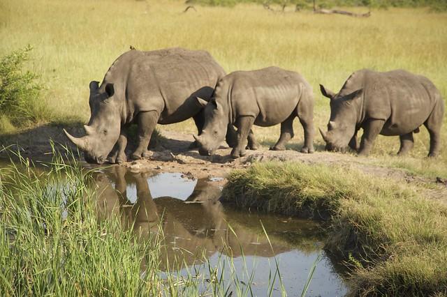 Sabi Sabi Private Game Reserve - Rhinos