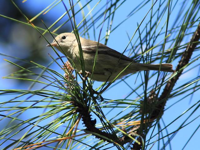 Pine Warbler 20150212