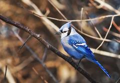 emberizidae(0.0), crow-like bird(0.0), animal(1.0), branch(1.0), wing(1.0), fauna(1.0), blue(1.0), blue jay(1.0), beak(1.0), bird(1.0), wildlife(1.0),