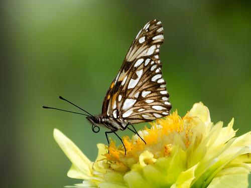 butterflies mariposa nymphalidae dionejuno mariposasdecolombia silverspottedflambeau butterfliesfromcolombia mariposaconmanchasplateadas heliconiajuno l1470116