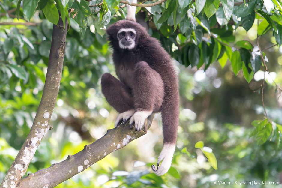 Сиаманг гиббон в зоопарке Сингапура